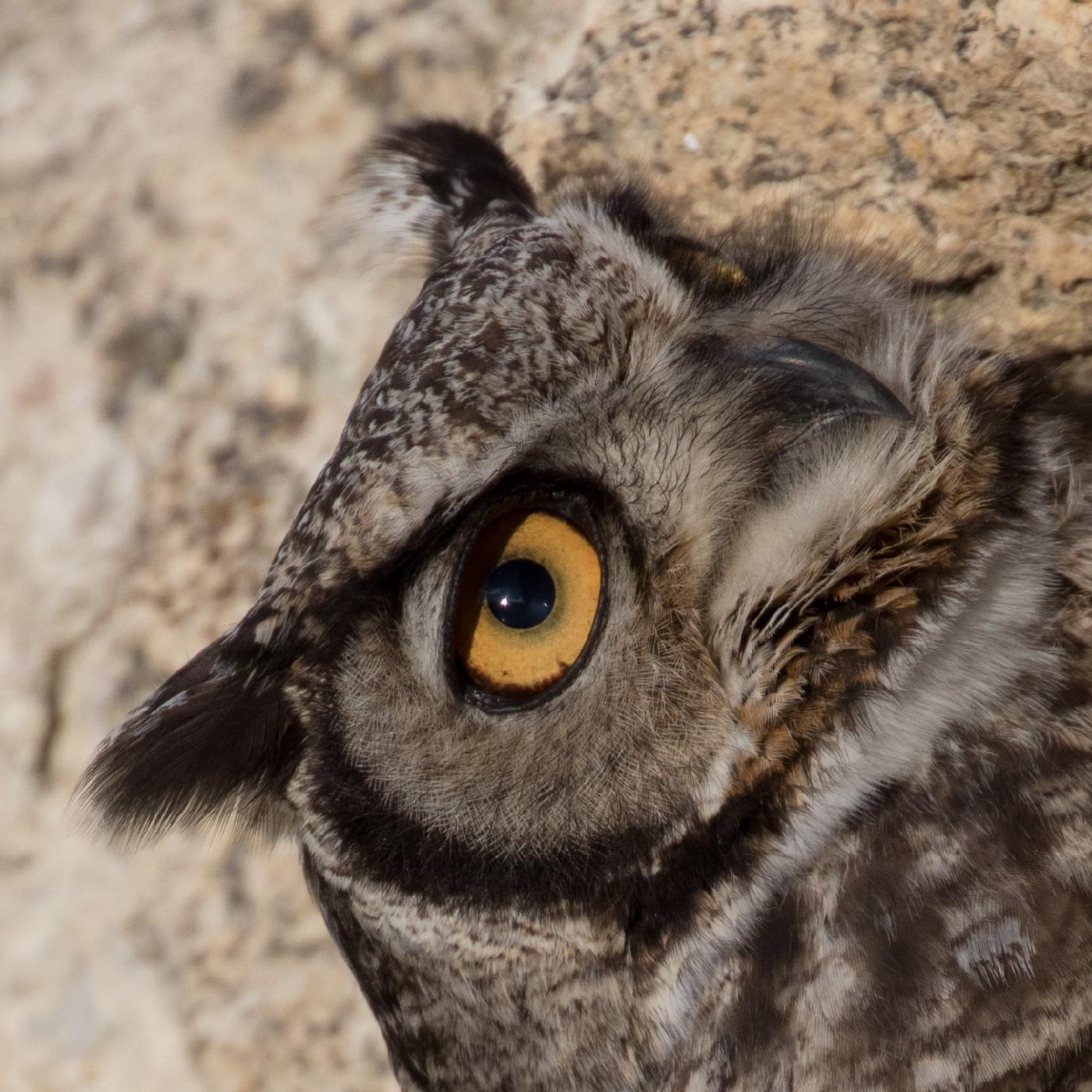 Magelanic horned owl